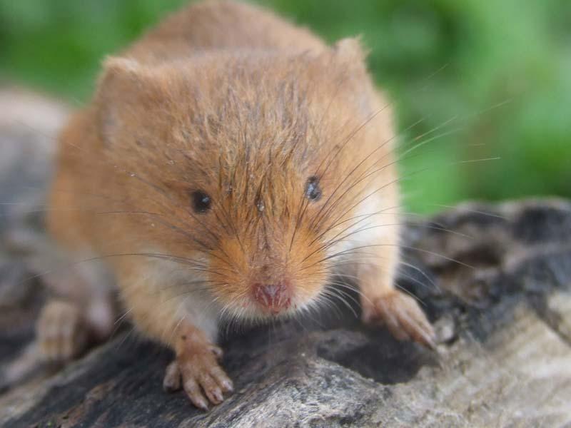Мала лісова мишь sylvaemus uralensis